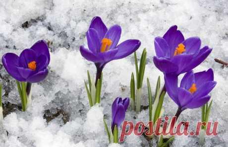 Начать разговор про цветок крокус лучше всего с его определения. Крокусы относятся к роду многолетних низкорослых клубнелуковичных растений семейства касатиковых. В литературе по декоративному цветоводству растение имеет латинское название Crocus. Часто его называют — шафран (см. Википедию).