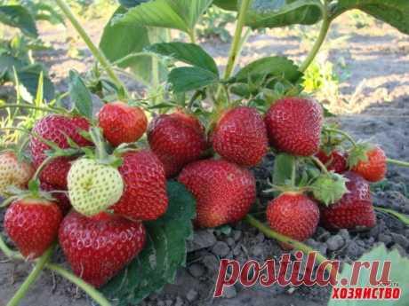 Сколько лет живут ягодники.