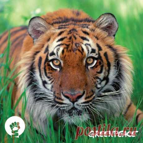 В дикой природе осталось всего 3 000 тигров. 29 июля отмечается Международный день тигра. Жмите НРАВИТСЯ, чтобы выразить свою любовь большим кошкам :)