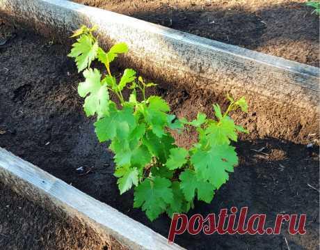 На дворе 10 июля – можно ли еще высаживать вегетирующие саженцы в открытый грунт   Самарский виноград   Яндекс Дзен