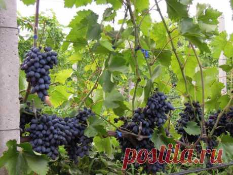 Сорт винограда Кодрянка является сверхранним сортом. Эта особенность выгодно отличает виноград Кодрянка и делает его очень популярным и востребованным.