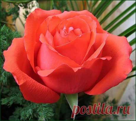 Добрый человек подобен ароматному благоухающему цветку, создающему атмосферу гармонии, любви, уважения, доброжелательности. Это именно те качества личности, которые дают человеку ощущение душевного комфорта. Эти чувства мы можем сами генерировать, создавая в своём уме чистые позитивные мысли. Если постоянно следить за качеством своих мыслей, создавать в своём уме только добрые, хорошие мысли, мысли высокого качества, то со временем мы можем стать подобными этой чудесной духовной розе.