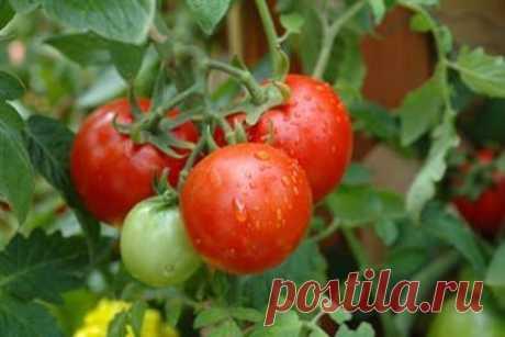 Правильный выбор сортов томатов « Огородные хитрости