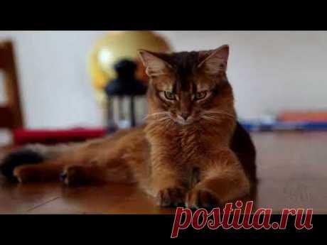 Сомали - кошки сомалийской породы - YouTube