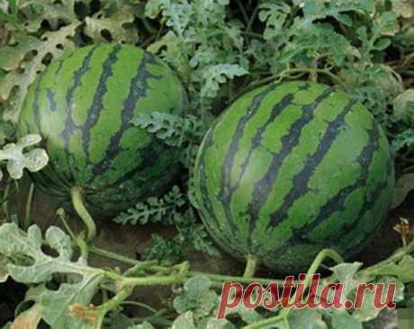Как выращивать арбуз сорта Огонек