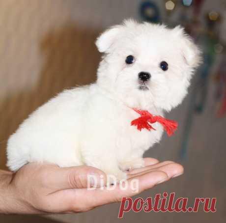 маленькие комнатные собачки болонки - 2 тыс. картинок - Поиск Mail.Ru