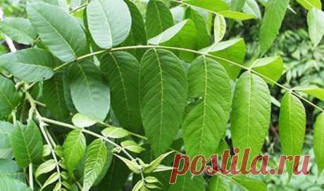 Целебная сила майских листьев грецкого ореха поможет избавиться от диабета, подагры, воспаления и не только! — Бабушкины секреты