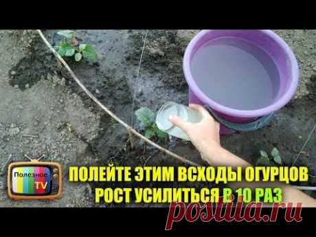 WATER WITH IT SHOOTS OF CUCUMBERS GROWTH THE EARLY HARVEST WILL AMPLIFY BY 10 TIMES