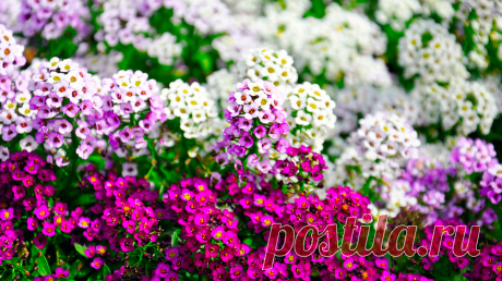 Неприхотливые растения, не знающие себе равных по пышному, обильному и продолжительному цветению | САД | Яндекс Дзен