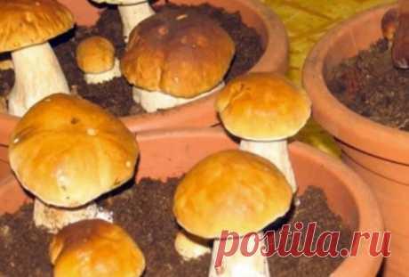 Вот так можно легко выращивать белые грибы дома на подоконнике Оказывается, всё довольно-таки просто. Оказывается, всё довольно-таки просто, и чтобы выращивать белые грибы прямо на домашнем подоконнике, не нужно прегладывать сверхмного усилий. Грибочки любите?…