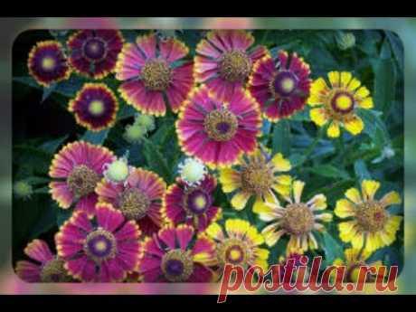 Гелениум - янтарный цветок