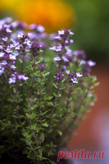 Растения, способствующие укреплению организма