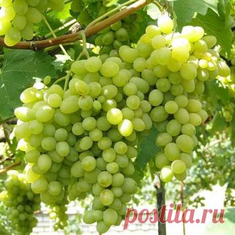 National cunning: what grapes are glad to