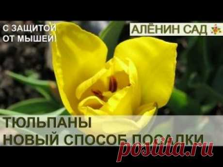 НОВЫЙ способ посадки тюльпанов с защитой от мышей и крыс!!! 🌷