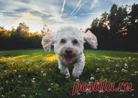 10 пород собак, которые не пахнут псиной и подойдут аллергикам