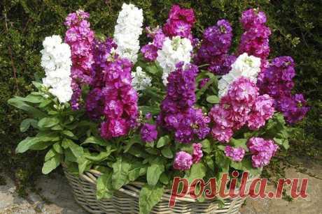 Маттиола (60 фото) - виды, уход и посадка в открытом грунте Маттиола – одно из самых ароматных и в то же время самых неприхотливых растений в саду. Если правильно подобрать сорта с учетом региона, то за клумбой практически не нужно ухаживать. Больше фото маттиолы - в нашей галерее!