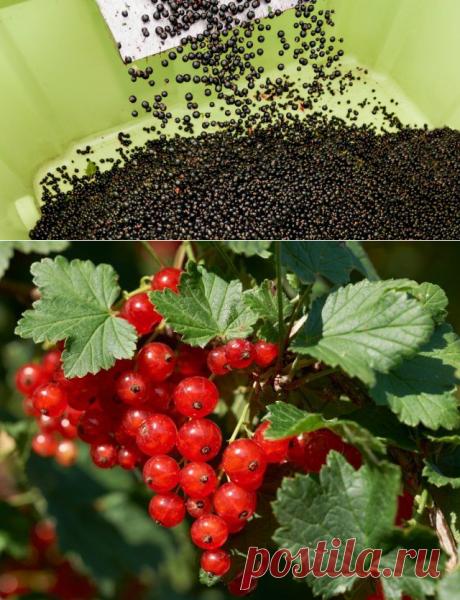 5 секретов небывалого урожая смородины   В саду (Огород.ru)