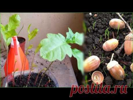 La plantación del roble de la bellota y la estratificación