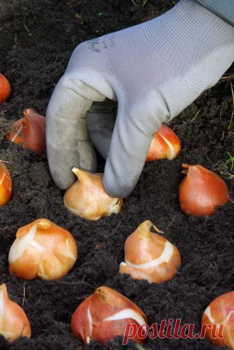 Куда «исчезают» луковицы тюльпанов?