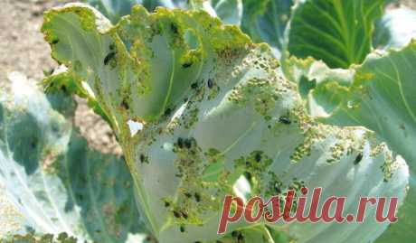 7 народных средств от крестоцветной блошки на капусте   На капусте появились мелкие дырочки, и их с каждым днем становится все больше. Значит, на вашем растении поселилась крестоцветная блошка. Это жучок-листоед, небольшой, прыгающий, с черной блестящей спинкой. Любит подпортить молодые листочки растений. И с блошкой нужно бороться, иначе капусту она может полностью «съесть».