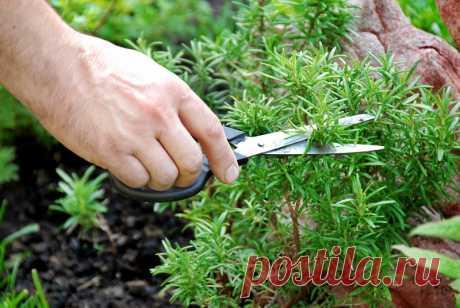 Из магазина в горшок: как вырастить розмарин из веточки за 5 шагов | Рекомендательная система Пульс Mail.ru