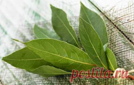 Advantage of broth of bay leaf, possible harm, coma dump of laurel