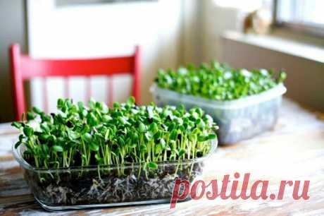 Микрозелень: какие культуры выращивать, их польза и вред Микрозелень — это не только мода, но и очень полезный продукт! В нежных молодых проростках содержится больше витаминов и важных для нашего организма элементов, чем в самих овощах.  Радуйте себя и своих близких сочными ростками в любое время года. Добавьте маленький пучок ростков в салат или на бутерброд...