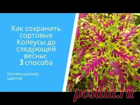 Как сохранить сортовые Колеусы до следующей весны на примере 11 сортов