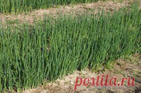 Лук-батун: витаминная зелень почти без проблем Лук-батун — многолетний овощ, непрерывно поставляющий витаминную зелень к нашему столу. Его настолько легко выращивать, что, поселив батун однажды в огороде, можно лишь иногда обновлять посадки, а бе...