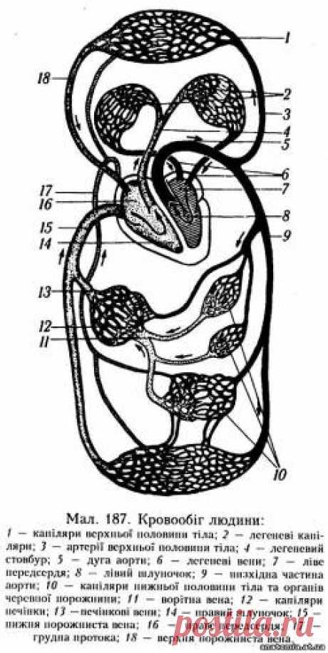 Анатомія людини - Схема кровообігу