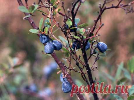 BLUEBERRY-LANDING AND LEAVING, CULTIVATION