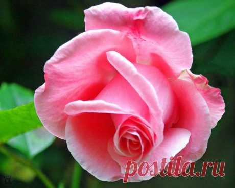 Розовые розы являются символом элегантности и изысканности. Розовый цвет отличается самой богатой гаммой оттенков, сочетание которых используют для составления сложных, многообещающих и часто красноречивых посланий.