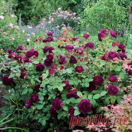 Розы - саженцы садовых роз - купить в интернет-магазине