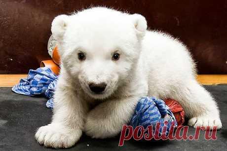 Белый медвежонок по имени Флок