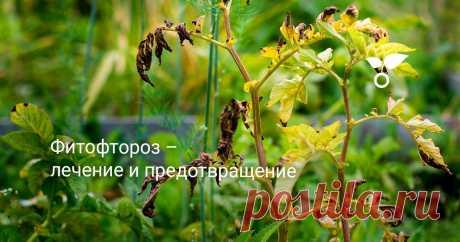 Фитофтороз – лечение и предотвращение Среди угроз урожаю, который обидно терять после всех приложенных усилий, нет более коварного, чем фитофтора. Рассказываем, как спасти растения от болезни.
