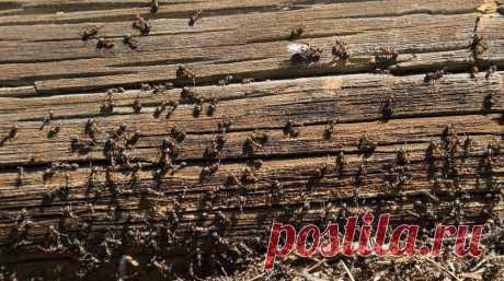 Как избавить огород от муравьев с помощью бананов :: Огород
