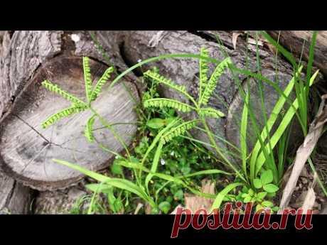 ABC TV | How To Make Eleusine Indica Paper - Craft Tutorial