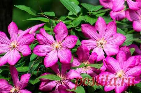 Подкармливать и поливать. Как летом ухаживать за клематисом  Клематисы – пожалуй, самые любимые дачниками декоративные лианы. Но, для того чтобы они радовали цветением, за ними придётся поухаживать, в том числе в разгар лета.  Роскошное цветение клематисов нев…