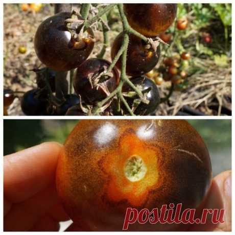 5 сортов фруктовых томатов черри — самых сладких и ярких. Описание, фото — Ботаничка.ru