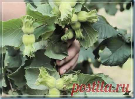 Выращивание фундука в Средней полосе   Сайт о саде, даче и комнатных растениях.