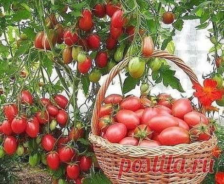 Все про помидоры