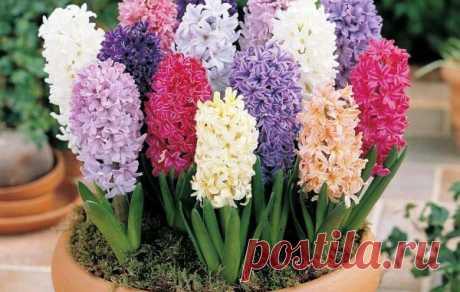 Комнатный Гиацинт: посадка, уход до и после цветения в домашних условиях