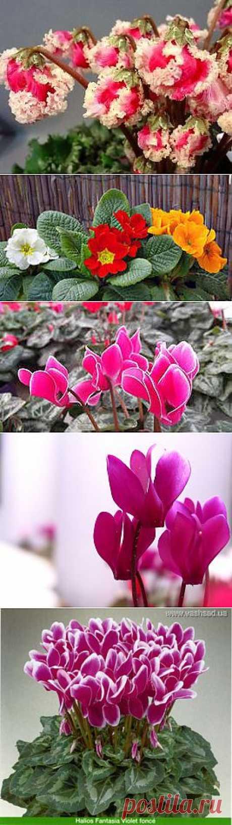 фото цветы цикламены: