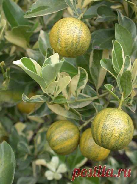 La variedad abigarrada de mandarina unshiu está representada por el color amarillo de las hojas. Tasa de crecimiento, el sabor es casi el mismo que el de la mandarina ordinaria unshiu.