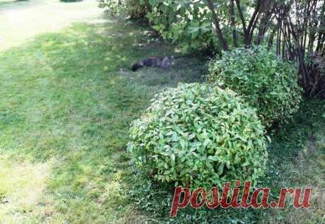 Как красиво и легко обрезать невысокий кустарник (шариком) | Есть время под солнцем | Яндекс Дзен