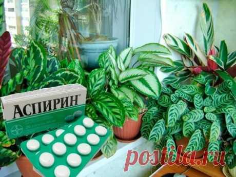Обычный аспирин оживляет комнатные растения. Рецепт—Тайна цветоводов | Тысяча и одна идея