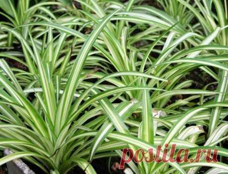 Хлорофитум - некапризное растение Данное комнатное растение идеально подходит для начинающих цветоводов. Хлорофитум сочетает в себе простоту и красоту, а также является совершенно некапризным растением. Хлорофитум является одним из на…