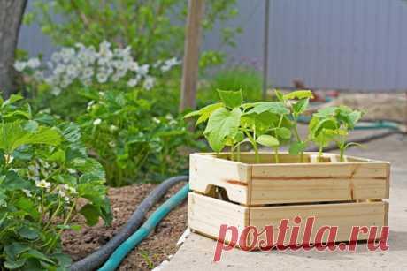 Los plazos del desembarco de las plantas hortalizas en el terreno y en los invernaderos