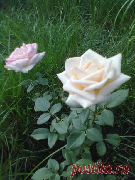 роза-чайная