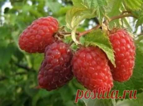 Правильная обрезка малины - увеличение урожая в 2-3 раза